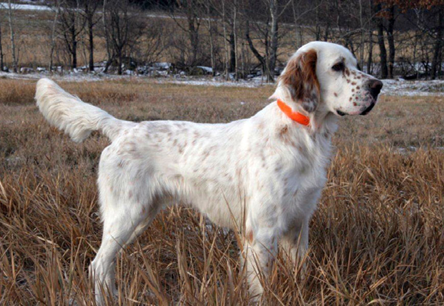 Hunting Labs For Sale In Wisconsin